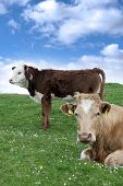 Irish Cattle Feeding On The Green Grass