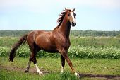 Chestnut Horse Galloping At The Field