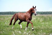 stock photo of breed horse  - Beautiful free chestnut horse trotting at the field with flowers - JPG
