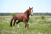 Chestnut Horse Trotting At The Field
