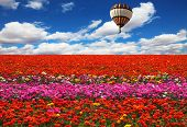 The huge balloon flying over colorful floral field. Flowers and seeds are grown for export