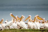 stock photo of flogging  - Pelicans huddled together at the edge of Lake Nakuru in Kenya with dark grey skies behind them complimenting their soft white feathers beautifully - JPG