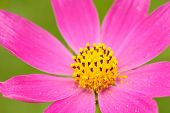 Pink Garden Cosmos Flower Close-Up