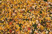 Maple Leaf Texture