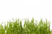 Long grass on white background and path