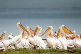 foto of flogging  - Pelicans huddled together at the edge of Lake Nakuru in Kenya with dark grey skies behind them complimenting their soft white feathers beautifully - JPG