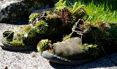 shoes used as a planter