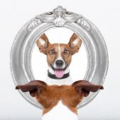 picture of jacking  - jack russell dog looking at the mirror his crazy silly funny face - JPG