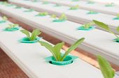 image of hydroponics  - Hydroponics green vegetable growing in the nursery - JPG