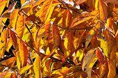image of angiosperms  - Autumn leaves on a Persimmon tree Calypso Mijas Costa Malaga Province Costa del Sol Andalucia Spain Western Europe - JPG
