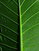 foto of leafy  - Cropped big tropical leaf - JPG