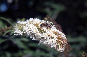 pic of butterfly-bush  - This is Buddleia - JPG