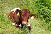foto of calves  - young calf on the mountain pasture in bavaria germany - JPG