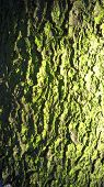 foto of exposition  - Green algae on the surface of spruce bark  - JPG