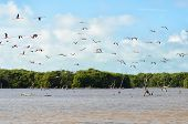 foto of pink flamingos  - Flying pink flamingo above lagoon and mangrove forest - JPG