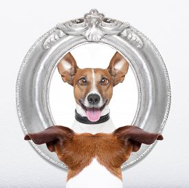 picture of crazy face  - jack russell dog looking at the mirror his crazy silly funny face - JPG
