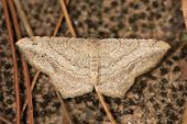 foto of moth  - A moth resting on the ground  - JPG