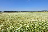 stock photo of buck  - Buck wheat field where flowers grow in autumn - JPG