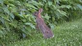 foto of wild-rabbit  - Wild Rabbit or Hare Stretched Out Preparing to Leap. Watercress Plants and Clover. ** Note: Visible grain at 100%, best at smaller sizes - JPG