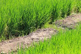 picture of water shortage  - Growing rice during a major water shortage - JPG