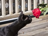 Black cat and a rose