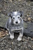 stock photo of blue heeler  - Six week old blue heeler puppy sitting on railroad tracks - JPG