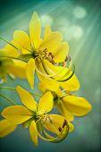 Golden Shower Tree / Cassia Fistula  vertical