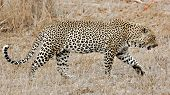 Leopard, Sabi Sands, Kruger National Park