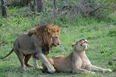 picture of african lion  - Lions in courtship in Sabi Sands game park - JPG