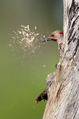 Woodpecker Building A Nest