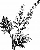 image of absinthe  - Absinthe plant Artemisia absinthium or wormwood engraving illustration isolated on white - JPG