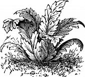 Bear's Breeches Or Acanthus Mollis Plant Vintage Engraving