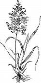 Redtop Or Browntop Grass, Or Agnostis Vulgaris Or Capillaris Engraving.
