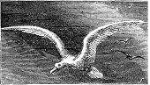 Wandering Albastross, Snowy Albatross, White-winged Albatross Or Diomedea Exulans Engraving
