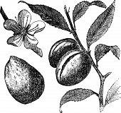 Die Mandel Baum oder Prunus Dulcis Jahrgang Gravur. Frucht, Blume, Blatt und Mandeln.
