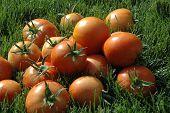 Tomatos In The Sun