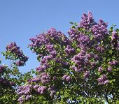 picture of lilas  - Branches of purple lilas in blossom on blue sky - JPG