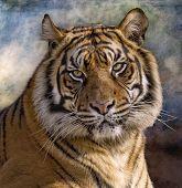 Tiger Tigre Panthera Tigris