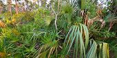 image of saw-palmetto  - Palmetto covers the forest floor in the Everglades National Park in Florida - JPG