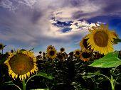 Field Of Sunflower....(1)