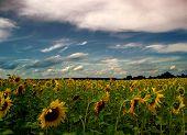 Field Of Sunflower....(2)