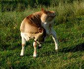 Cow...(2)