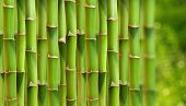 Bamboo stalks.