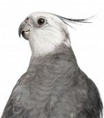 image of cockatiel  - Close - JPG