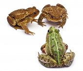 Common European frog or Edible Frog, Rana kl. Esculenta, facing common toads or European toads, Bufo
