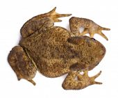 High angle view of Common toad or European toad, Bufo bufo, in front of white background