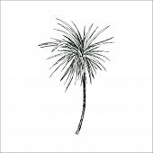Isolated Sketched Coconut Or Queen Palm Tree With Leaves. Beach And Rainforest, Desert Coco Flora. F poster