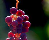 Dark Grapes In A Basket. Grape Harvesting. Red Wine Grapes. Dark Blue Grapes, Wine Grapes In A Baske poster