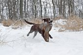 Chocolate Labrador retriever with a pheasant