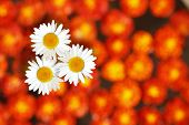 Daisies Standing Amidst Marigold Flowers